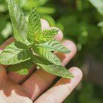 Minty fresh ideas: Top 13 ways to use mint